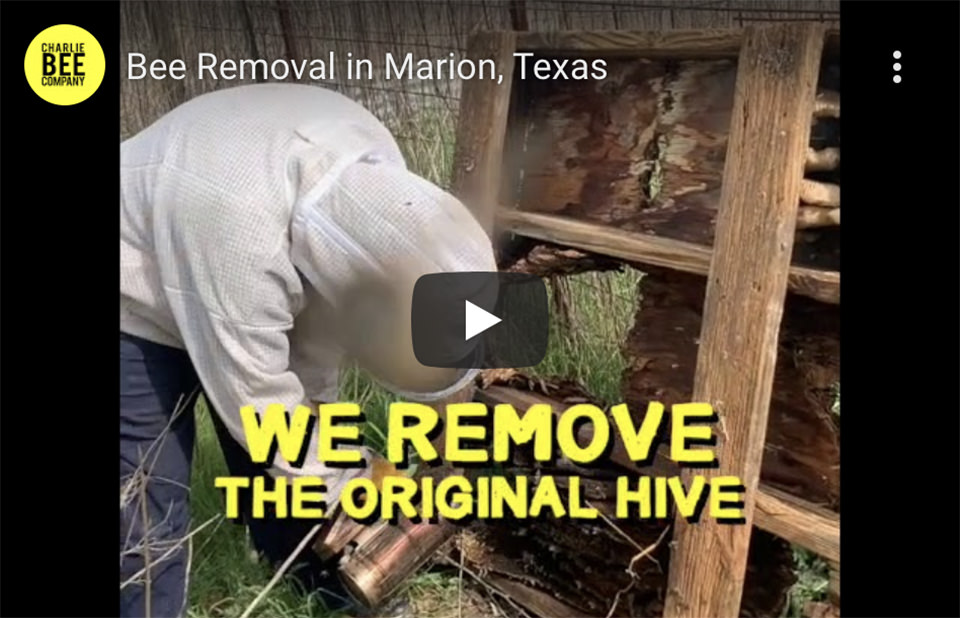 Bee Removal in Marion, Texas